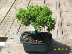 Juniper Bonsai Tree China
