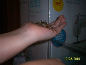 Fiddler Crab from Insect Lore