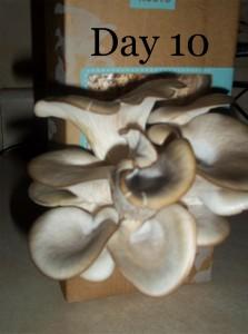 day 10 of growing mushrooms